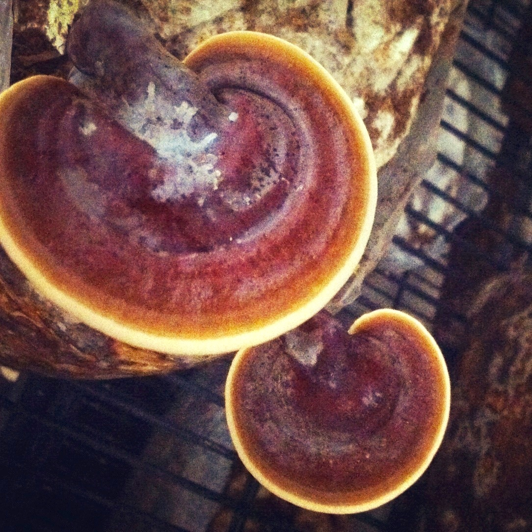 Ganoderma lucidum in grow rooms